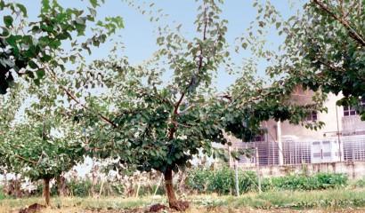 Albicocco dopo la potatura