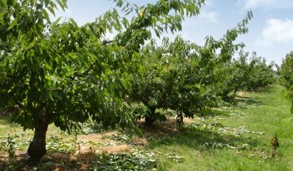 Potatura del ciliegio: i benefici della potatura estiva