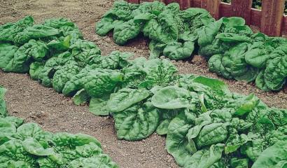 Aiola coltivata a spinaci