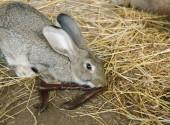 coniglio mangia carrube
