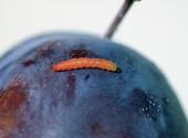 Larva di cidia funebrana