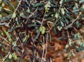 Olive in crescita