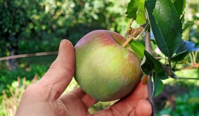 Stacco delicato e incauto delle mele