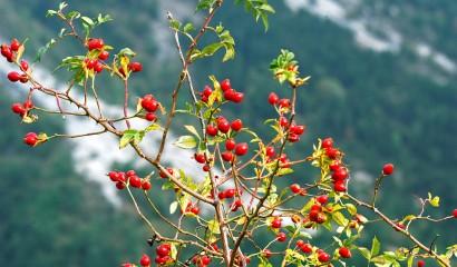 Cinorrodi, frutti della rosa