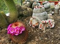 Mammillarie, piante grasse