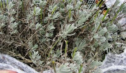 Protezione invernale per le piante aromatiche e officinali