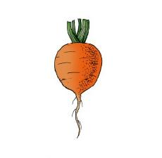 """Disegno che evidenzia la caratteristica forma delle carote a """"trottola"""""""