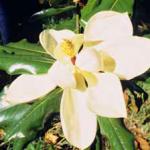 Magnolia grandiflora «Gallisoniensis»