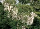 Fiori di Robinia pseudoacacia