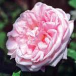 Rosa «M.me Louis Lévèque»