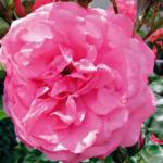 Rosa «Rosarium Vetersehen»
