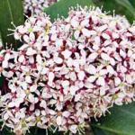 Skimmia japonica «Rubella»
