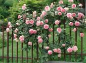 Rosaio rampicante Pierre de Ronsard