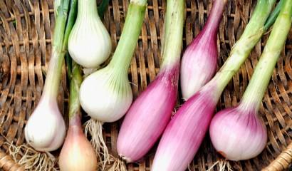 cipollotti semina trapianto raccolta
