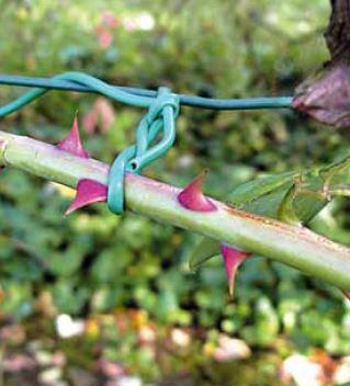 Legatura a 8 dei rami di un rosaio rampicante