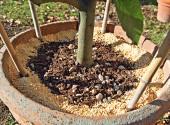 Agrumi in vaso concimati con lupini macinati