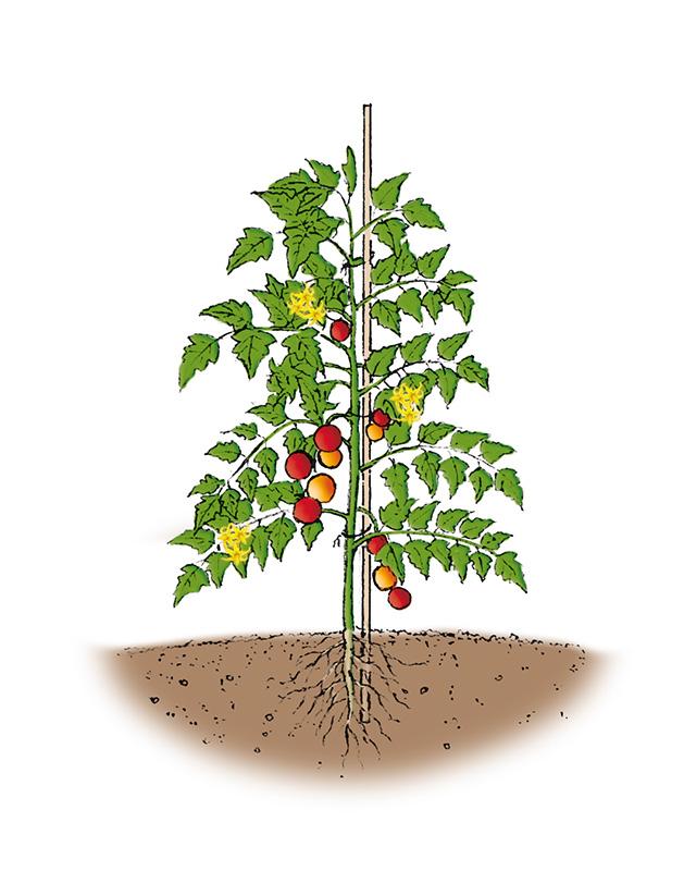 Disegno di una pianta di pomodoro indeterminata con il consueto sostegno