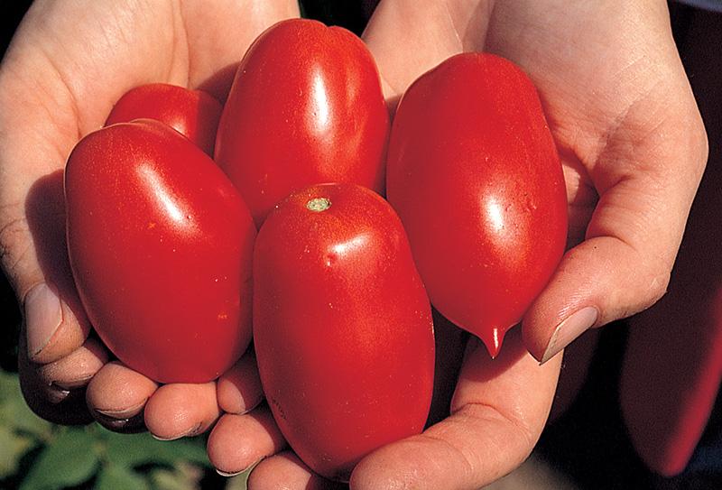 Pomodori di varietà Earlypeel appena raccolti nell'orto