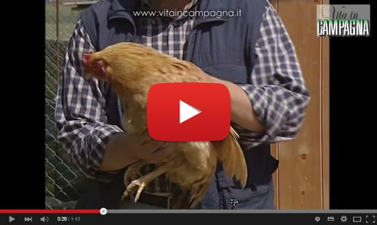 video gallina ovaiola