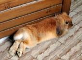 foto coniglio nano