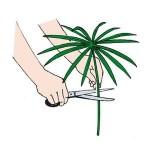 moltiplicazione pianta papiro 01