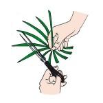 moltiplicazione pianta papiro 02