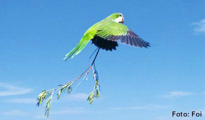 parrocchetto monaco pappagalli liberi roma italia