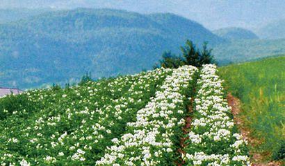 Campo di patate Majestic coltivate in montagna