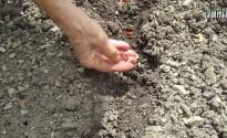 semina fagiolino nano