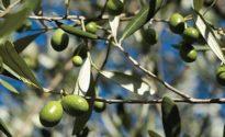 olive toscane maturazione