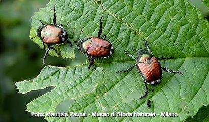 esemplari di popillia japonica