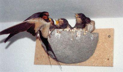 mamma rondine imbocca piccoli_nido artificiale per rondini