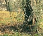 polloni olivo olivicoltura