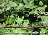 rovo attaccato da popillia japonica