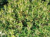 Osmanthus aquifolium arbusto