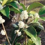 Osmanthus aquifolium ramo fiori
