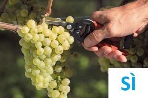 forbici vendemmia raccolta uva Sì