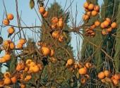 Frutti di kaki maturi ancora sull'albero