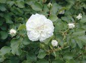 rosa-white_meidiland