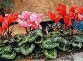 Ciclamini in un giardino di casa