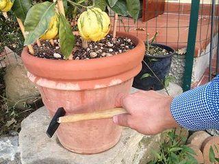 Controllo annaffiatura agrumi in vaso