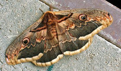 Farfalla saturnia del pero – Saturnia pyri