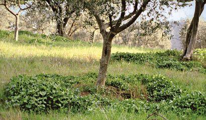 Favino ai piedi di un giovane olivo