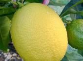 Limone sulla pianta
