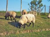 Pecore Suffolk al pascolo