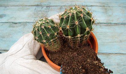 Aggiunta del nuovo terriccio ad una pianta grassa in vaso