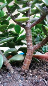 Ramificazione tronco Crassula ovata