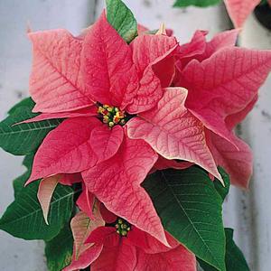 Significato Della Stella Di Natale.Stella Di Natale Una Pianta Per Le Feste Vita In Campagna