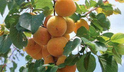 Albicocche sul ramo