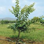 Albicocco in allevamento dopo la potatura verde